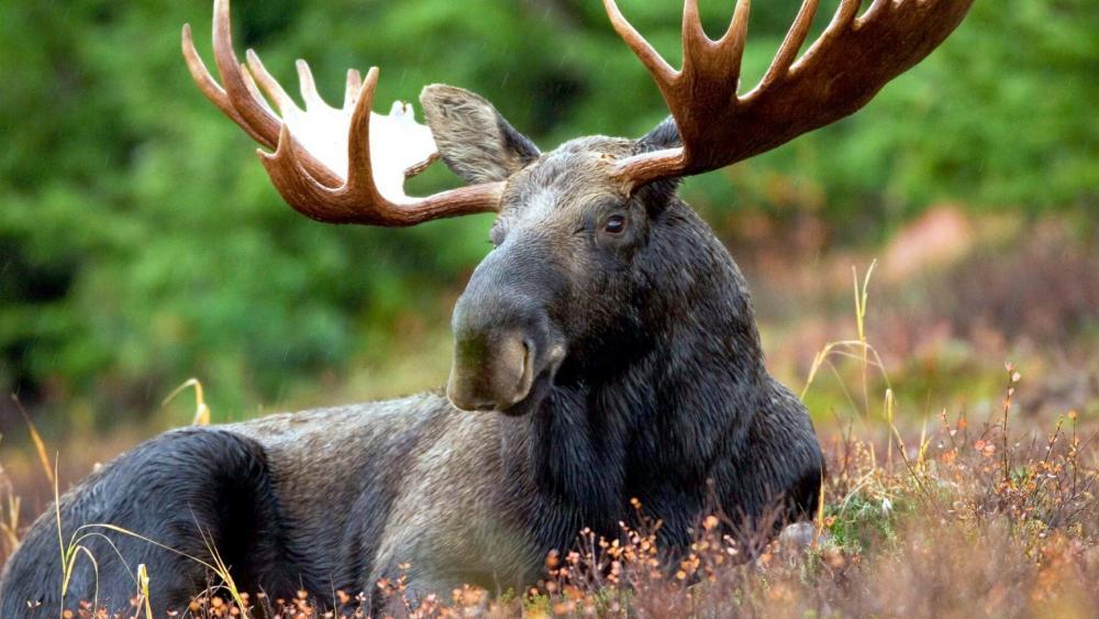 Elk moose wallpaper