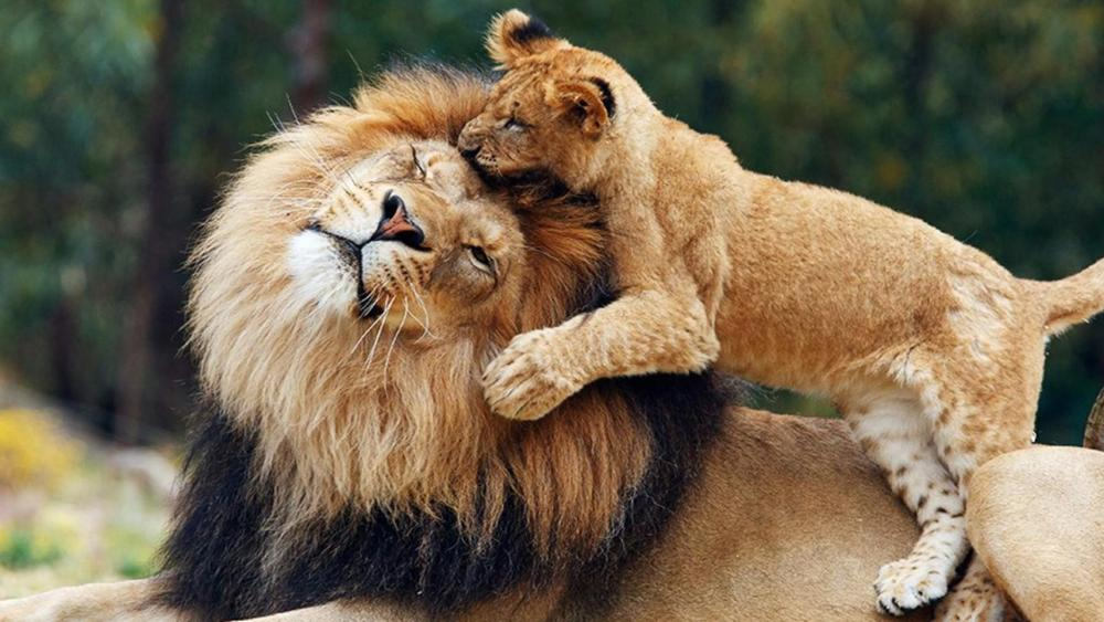 Lion king with cub wallpaper