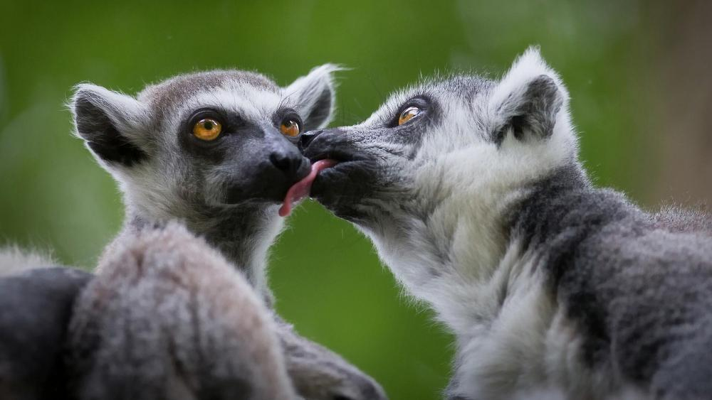 Cute lemurs kissing wallpaper