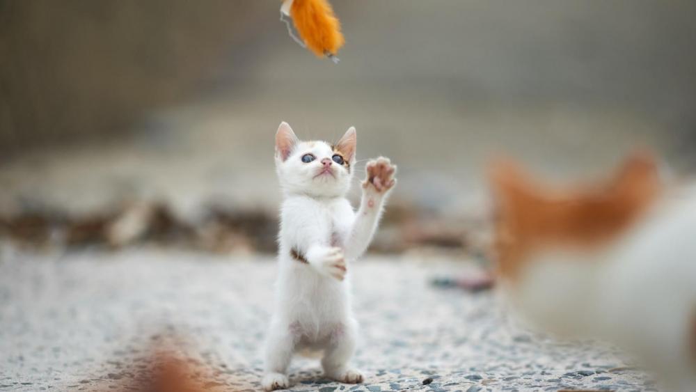 Playing kitten wallpaper