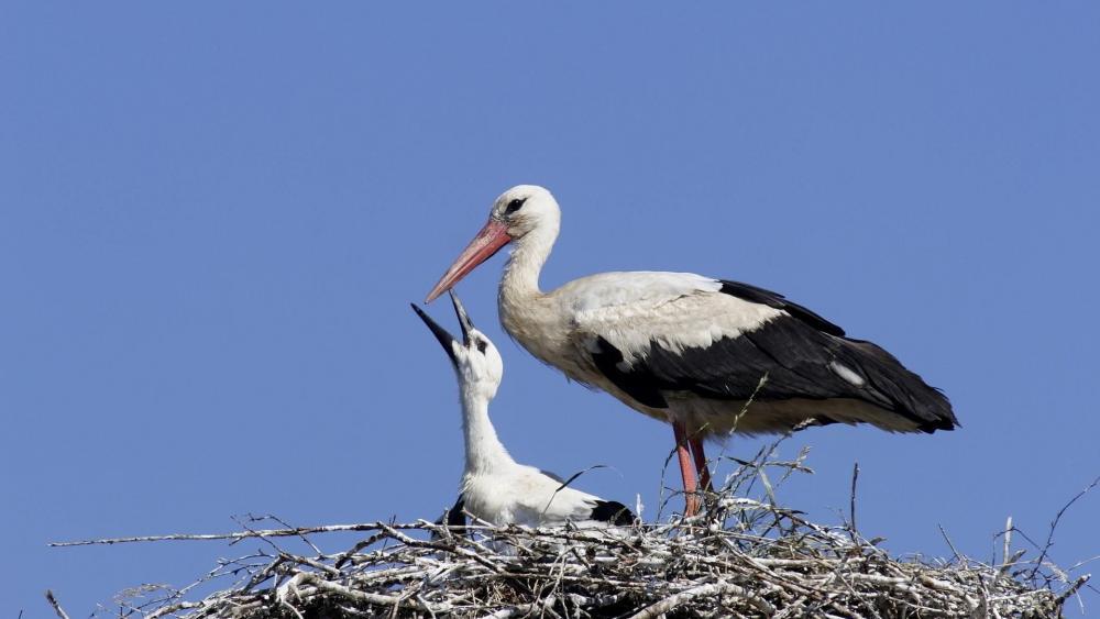 Baby stork in the nest wallpaper