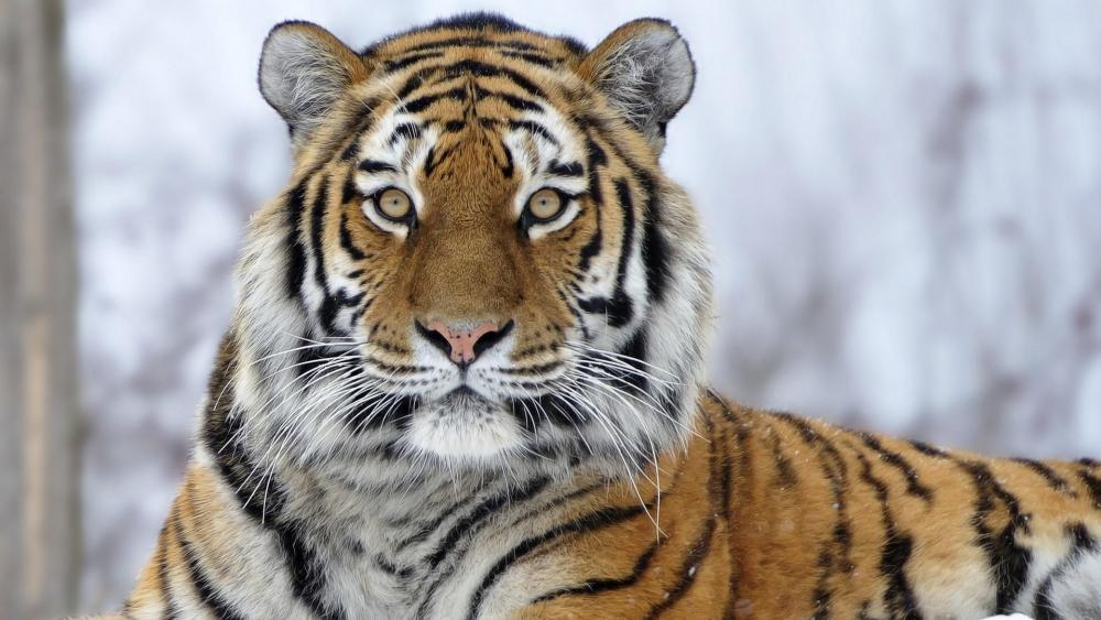 Siberian Tiger wallpaper