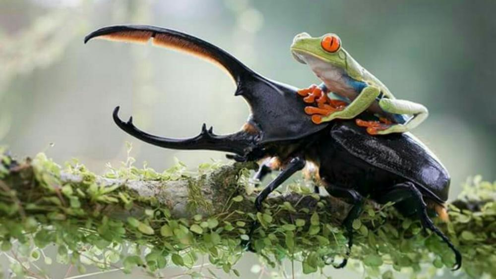 A frog riding a stag beetle wallpaper