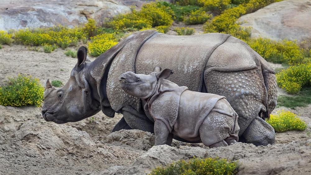 Baby rhino under the watchful eye of her mother wallpaper