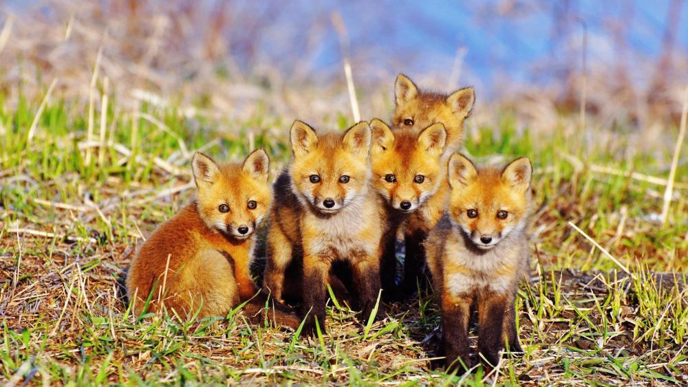 Cute red fox cubs wallpaper