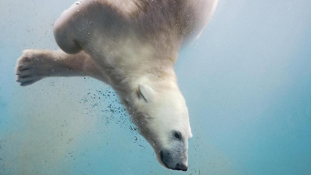 Polar bear under the water wallpaper