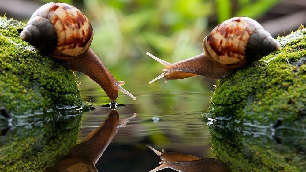 Two snails drinking wallpaper