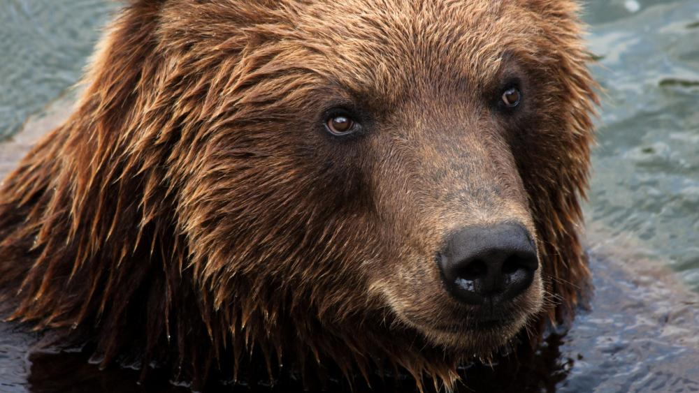 Kamchatka brown bear wallpaper