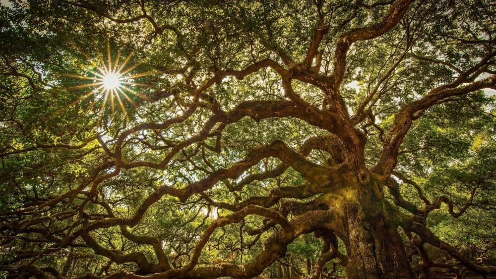 Angel Oak Tree wallpaper