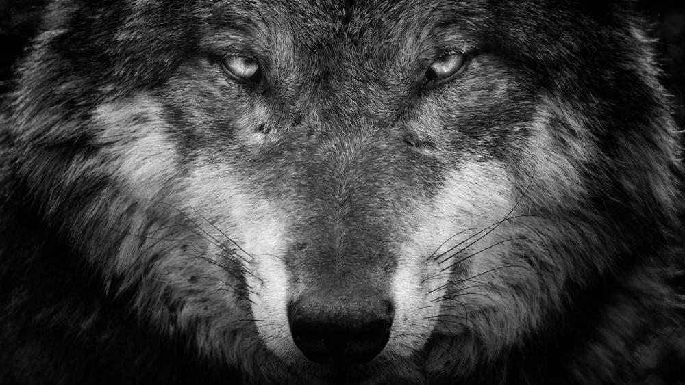 Wolf black and white portrait  wallpaper