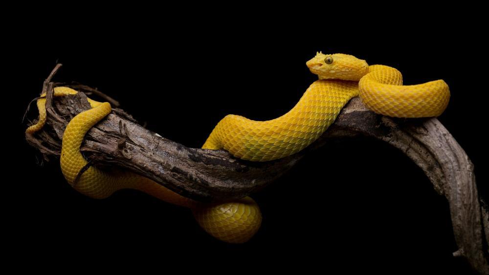 Bothriechis schlegelii snake wallpaper