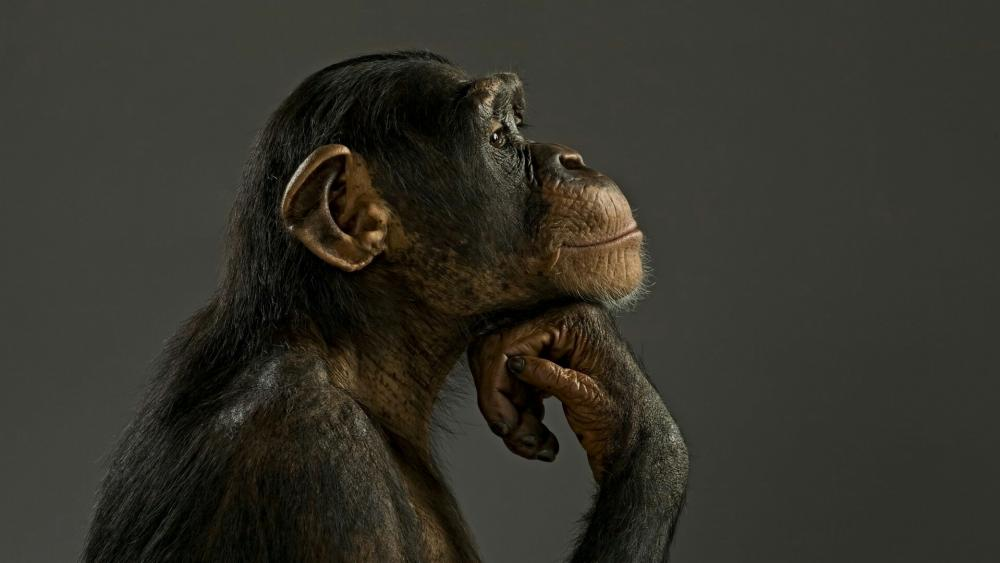 Common chimpanzee thinking wallpaper