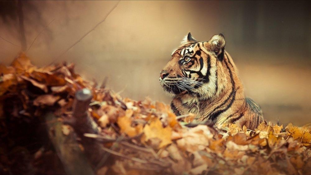 Camoflauged Siberian Tiger wallpaper