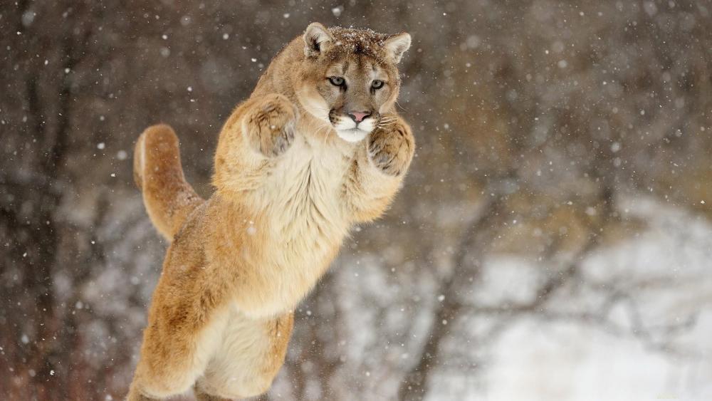 Cougar (Mountain Lion) wallpaper