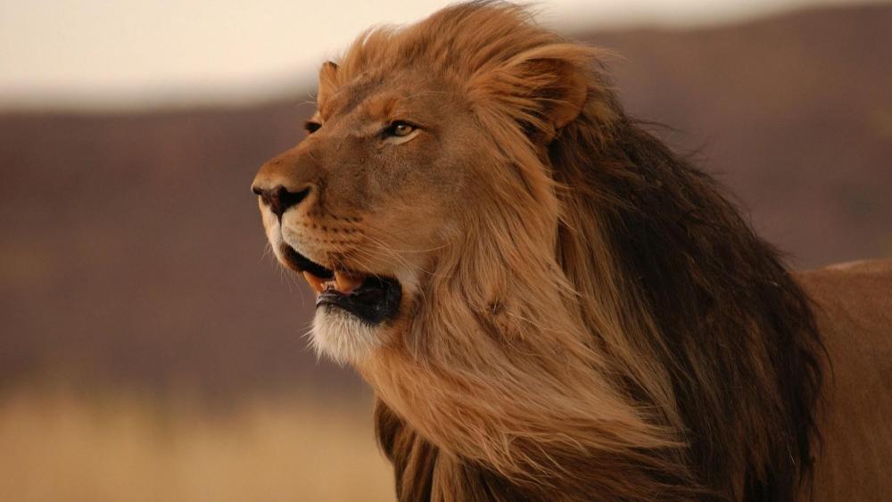 Masai lion in the wind wallpaper