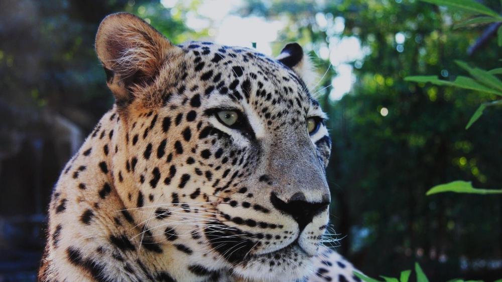 Persian leopard wallpaper