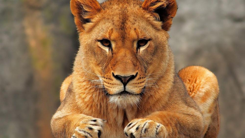 Female lion wallpaper
