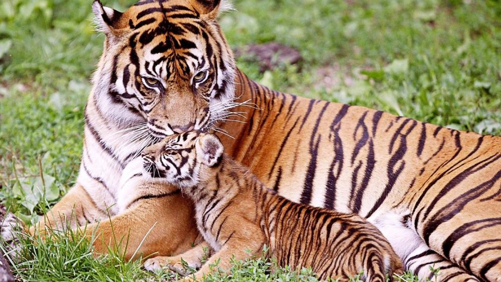 Tiger cub and his mom wallpaper