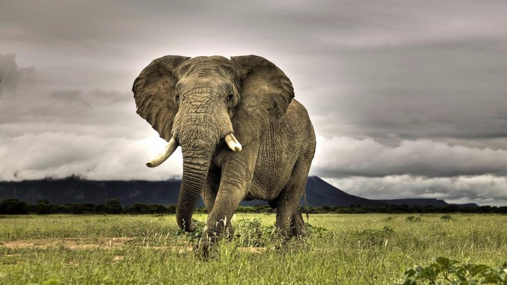 Elephant in the grassfield wallpaper