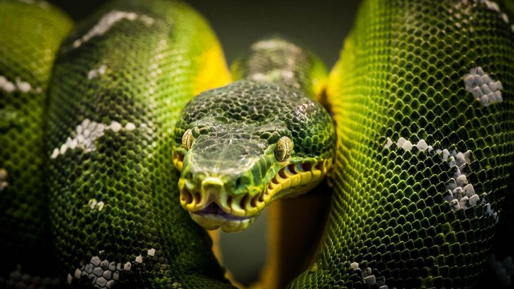 Green Tree Python wallpaper
