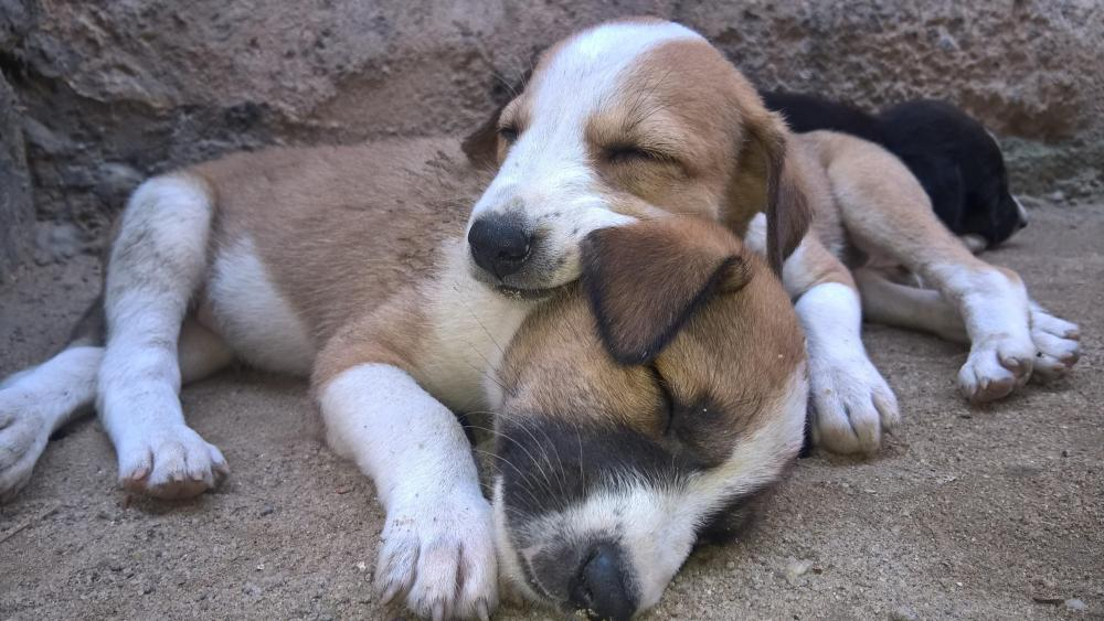 Lazzy puppies wallpaper