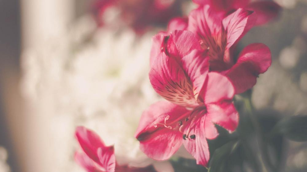 Blooming peruvian lily flower wallpaper