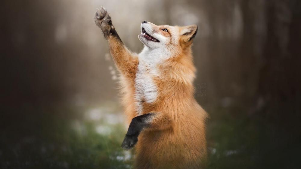 Fox paws wallpaper