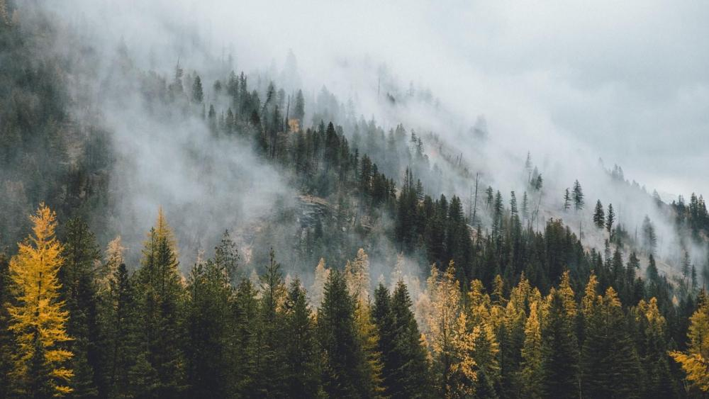 Misty pine forest wallpaper