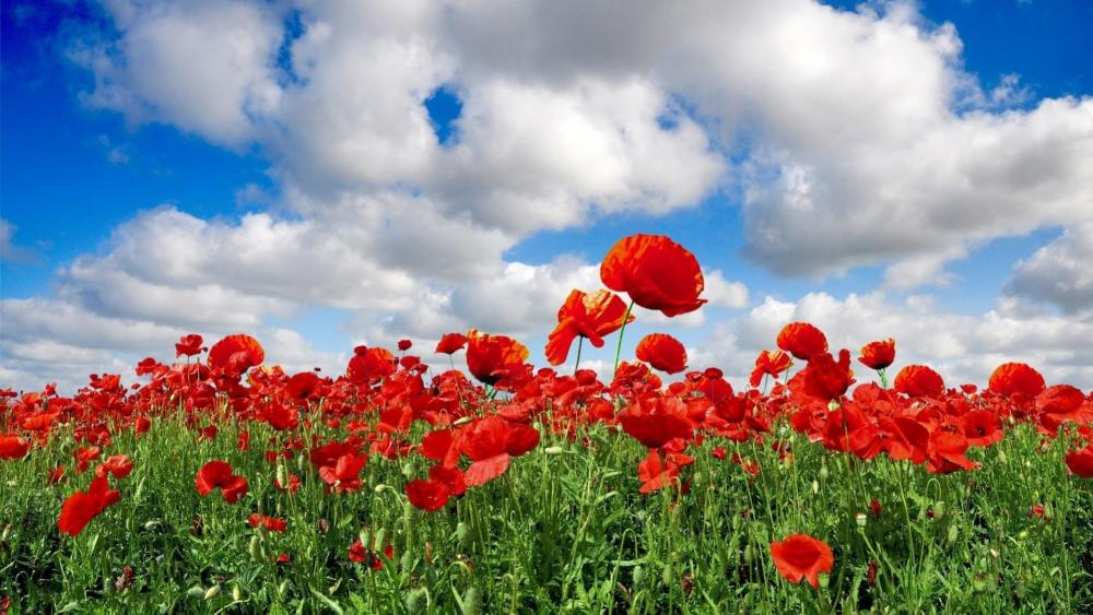 Red poppy field wallpaper