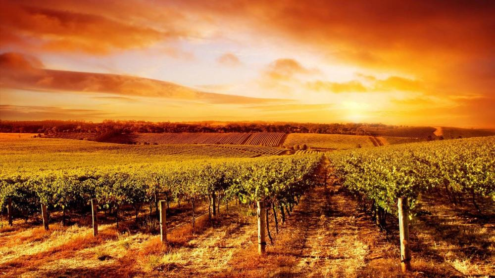 Vineyard in sunset wallpaper