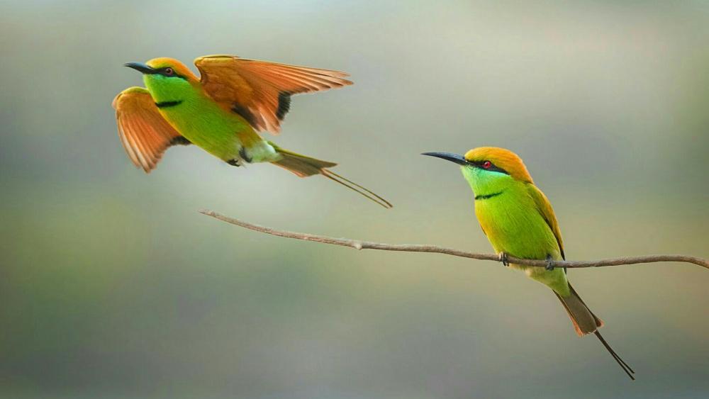 Green bee-eater wallpaper