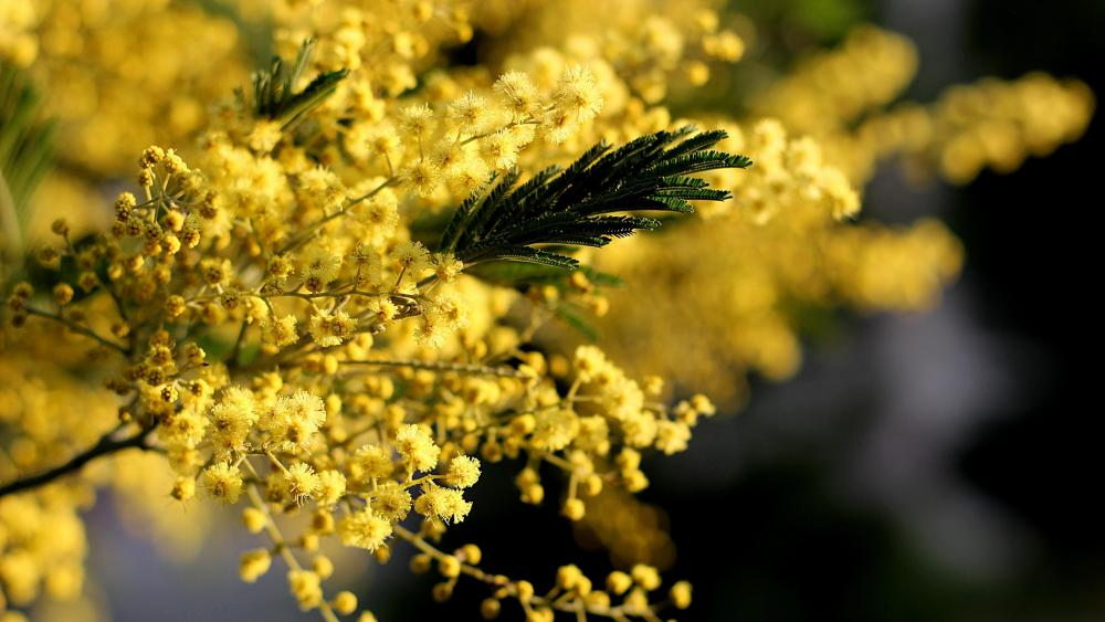 Mimosa flower wallpaper