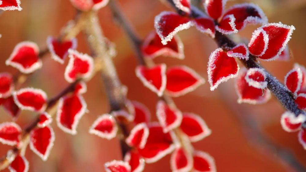 Frost leaves - Macro photo wallpaper