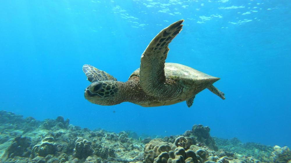 Turtle Near-Miss wallpaper
