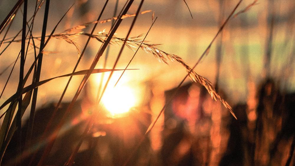 Sunset among the grasses wallpaper