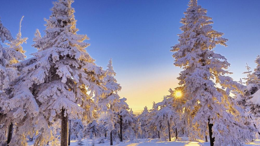 Snowy forest in the sunshine wallpaper