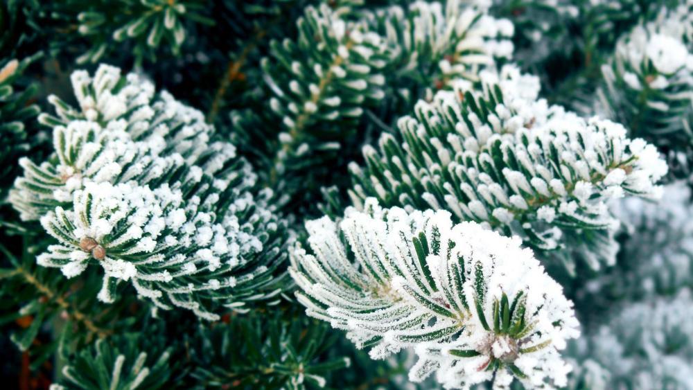 Frosty christmas tree wallpaper