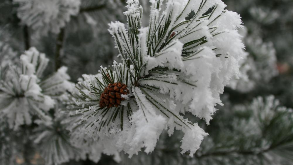 Frozen fir tree wallpaper