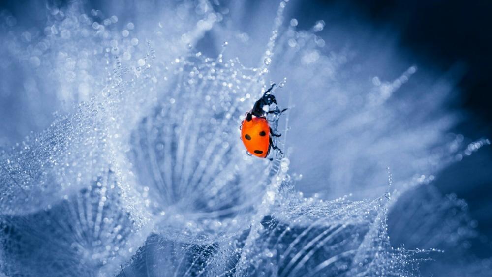 Ladybird  wallpaper