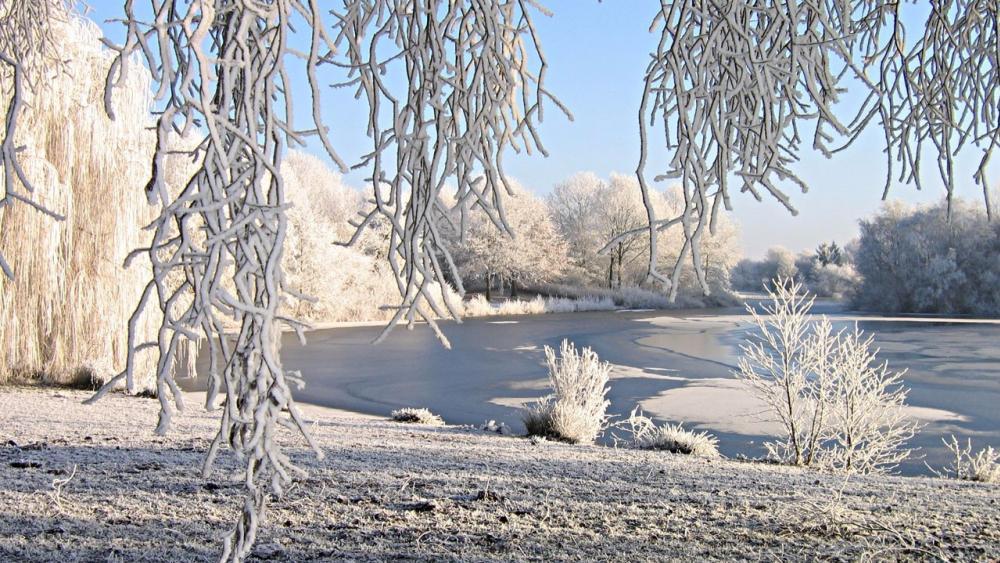 Frozen willow wallpaper