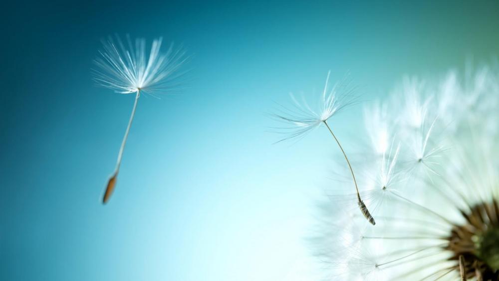 Flying dandelion seeds wallpaper