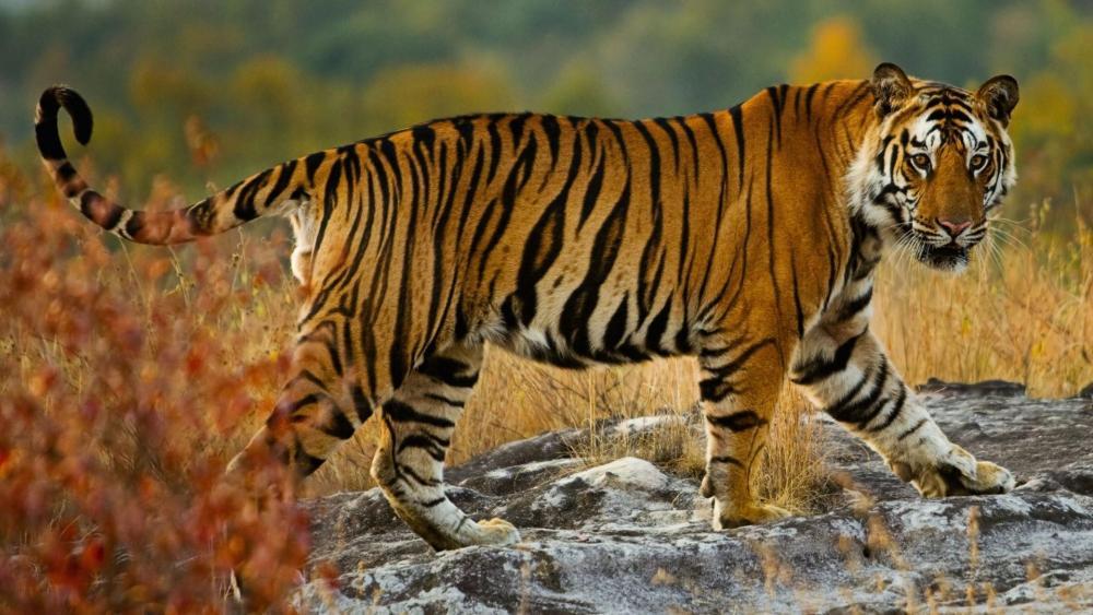 Kanha Tiger Reserve (India) wallpaper