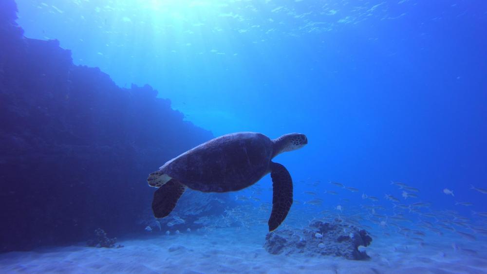 Green Sea Turtle wallpaper