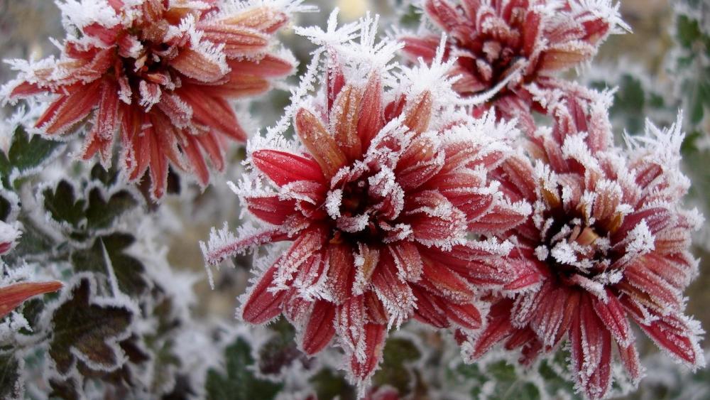 Frozen chrysanthemum wallpaper