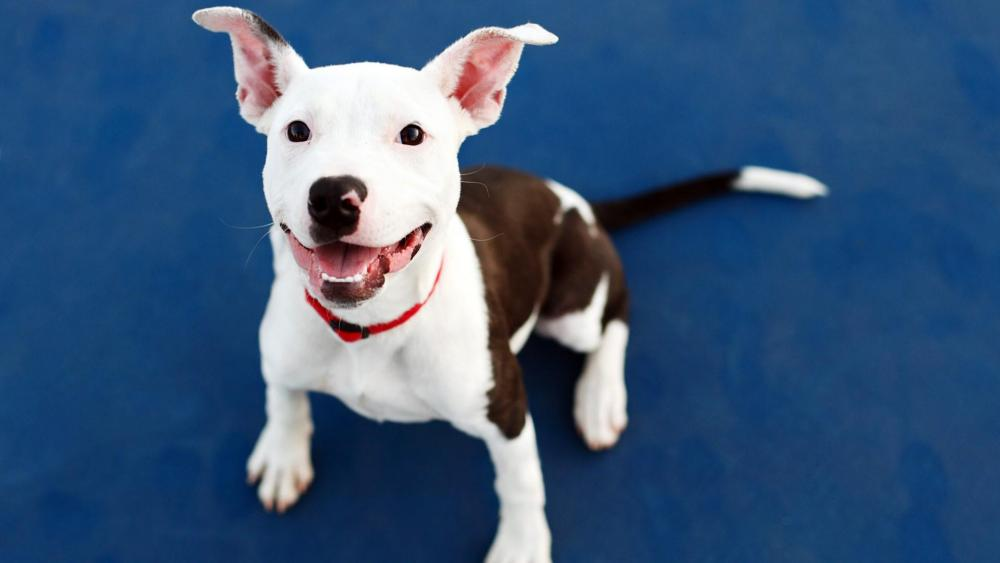 American Pit Bull Terrier puppy wallpaper