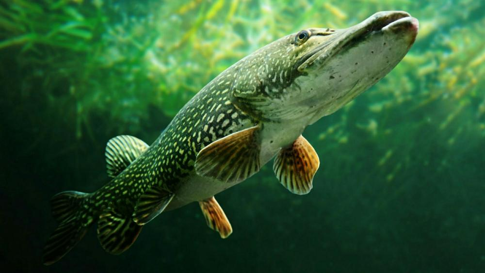 Pickerel - Underwater Photography wallpaper