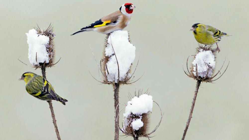 Eurasian siskin and European goldfinch wallpaper