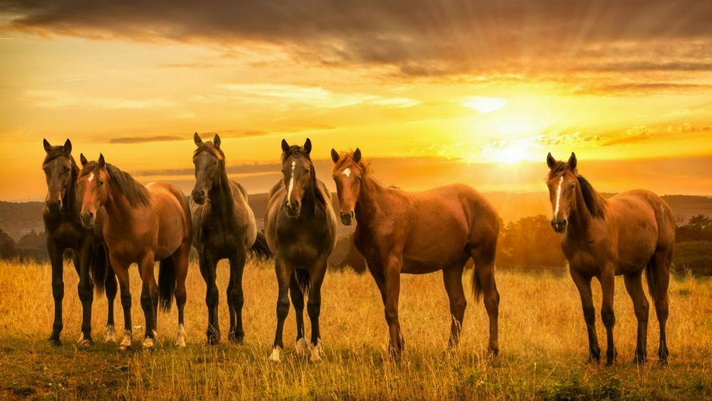 Horses in the sunset wallpaper