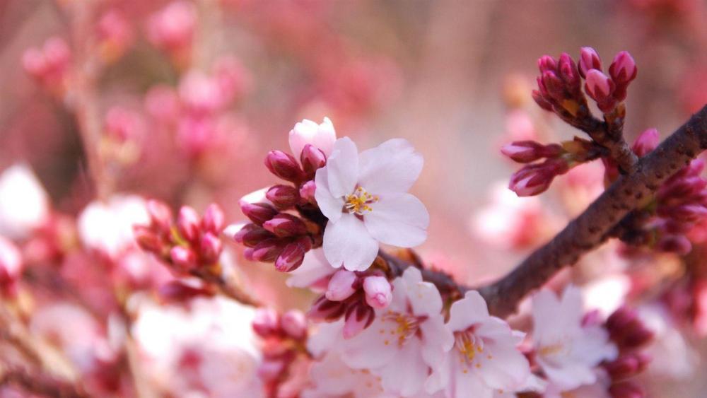 Cherry blossom  wallpaper