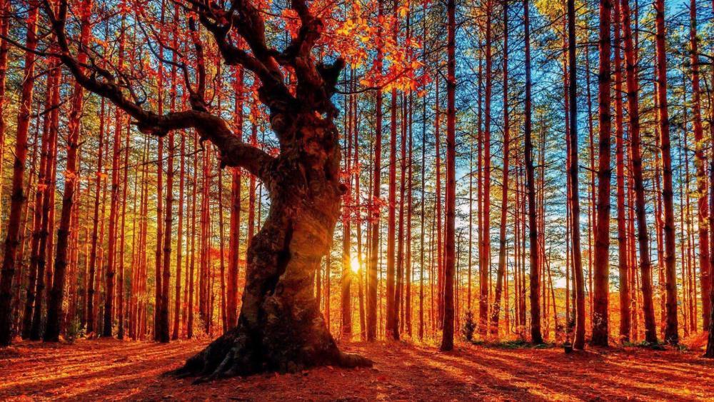 Autumn sunset in woods wallpaper